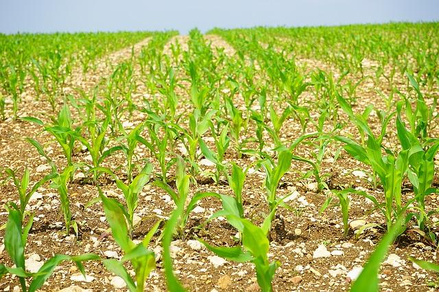 cornfield-1365877_640